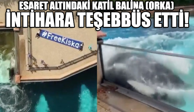 42 yıldır beton kafes içinde yaşayan katil balina (orka) Kiska intihara teşebbüs etti