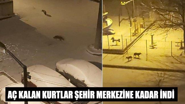 Aç kalan kurtlar şehir merkezine kadar indi