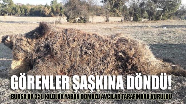 Bursa'da 250 kiloluk yaban domuzu avcılar tarafından vuruldu