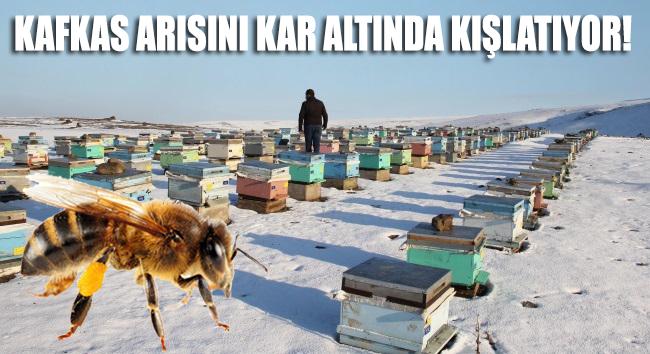 Kafkas arısını kar altında kışlatıyor!