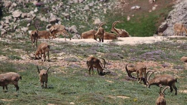 Tunceli'de avlanması yasak olan 8 yaban keçisi ölü bulundu