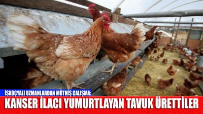 İskoçyalı uzmanlardan müthiş çalışma: Kanser ilacı yumurtlayan tavuk ürettiler
