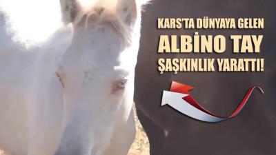 Kars'ta dünyaya gelen 'albino tay' şaşkınlık yarattı!