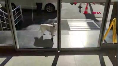 Sahibini 5 gün boyunca hastane kapısında bekleyen 'Boncuk' köpek, dünya basınında