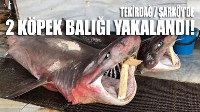 Tekirdağ'da 2 köpek balığı yakalandı